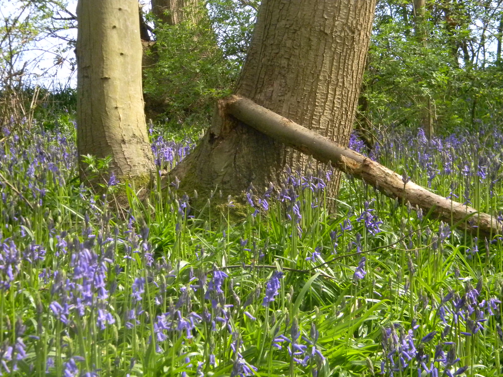 Bluebells Bekesbourne Circular