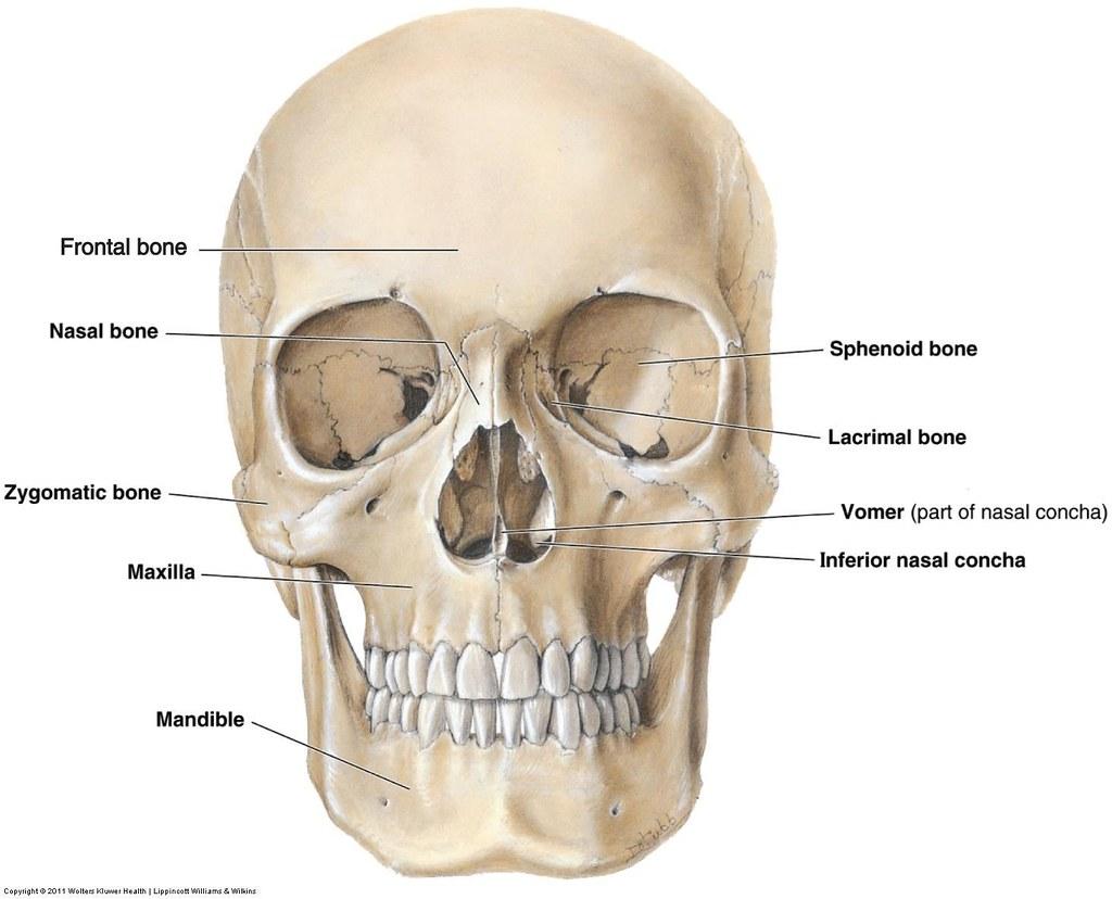 Facial Bones Anatomy Victoria Potamuse Flickr