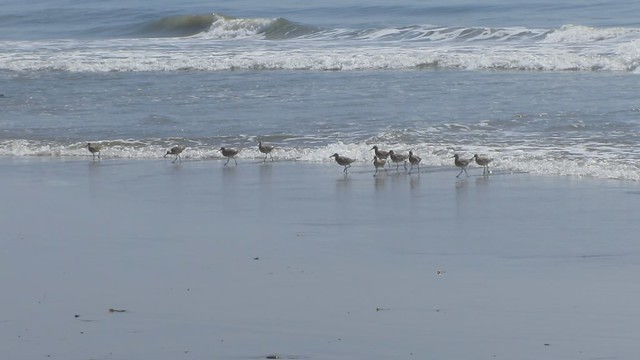 MVI_7754 willets on east haskell beach