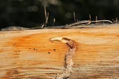 larva cerambicidae