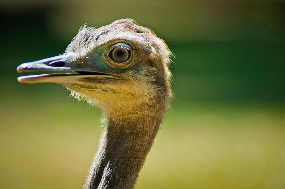 Un Ñandú (Rhea americana) aparentemente de corta edad, es visto en una estancia en las afueras de la ciudad de Caapucú del departamenteo de Paraguarí. (Elton Núñez)