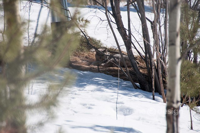 Canada Lynx in patch of trees