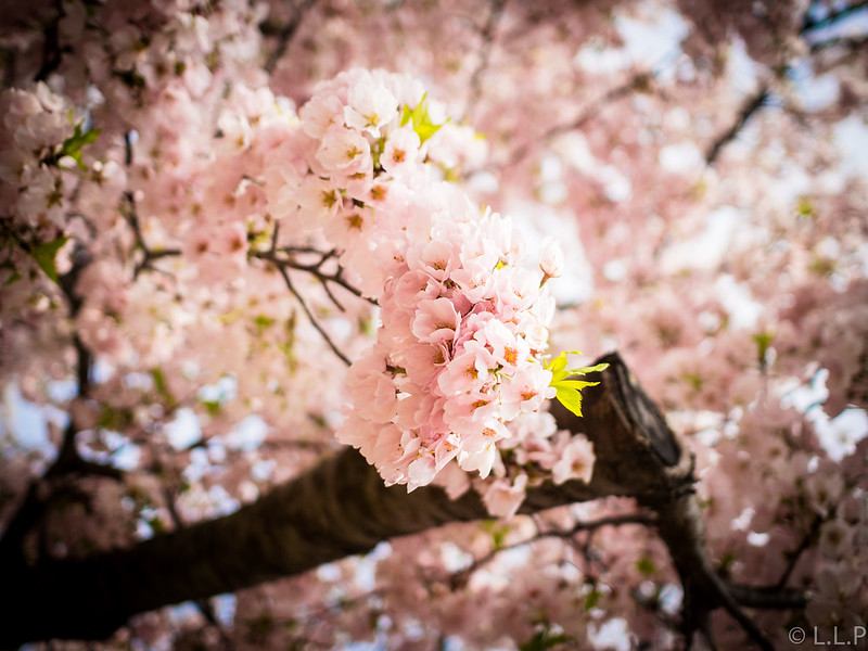OMD & LLP Go to: Cherry Blossom, DC