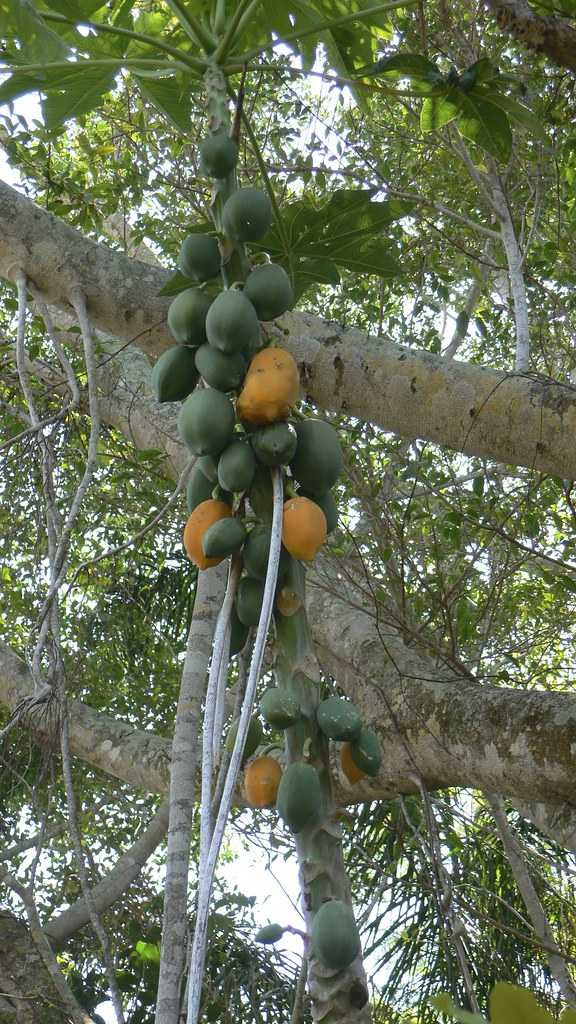 Probably papayas