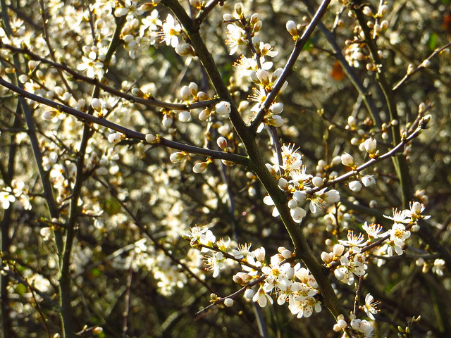 Flowering Blackthorn on Upper Cohen's Field