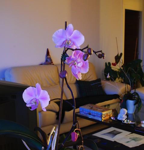 etxeko orkideak 2013 by txikita69