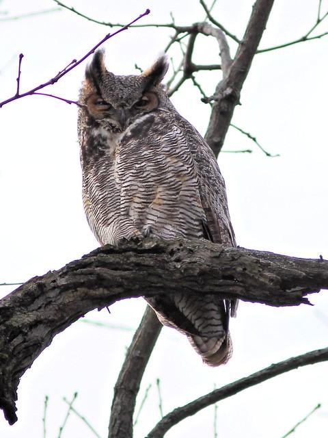 Great Horned Owl COREL 20130424