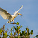 Cattle Egret in Flight  with Breeding Plumage & Nesting Material by Michael Pancier Photography