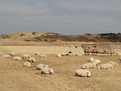 animal, prairie, steppe, sheeps, sheep, plain, mammal, herd, grazing, fauna, natural environment, plateau, herding, pasture, rural area, grassland, wildlife,