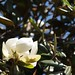 In the neighborhood…Magnolia grandiflora - 04