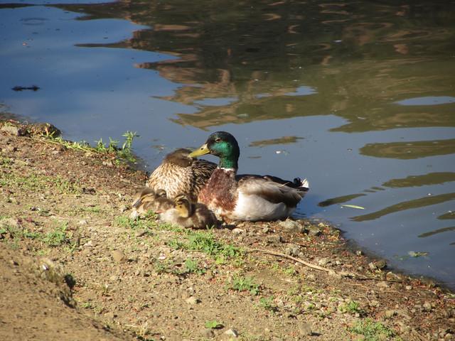 duckling nap