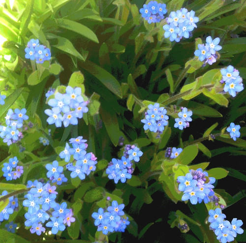 Forget Me Nots (Posterized Photo) by randubnick