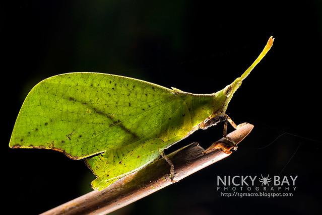 Forest Leaf Grasshopper (Systella rafflesi) - DSC_7530