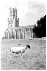 Fotheringhay Sheep