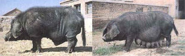 Thu, 01/19/2006 - 10:46 - Min pig breed