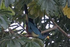 Great Blue Turaco - Corythaeola cristata 20160915-04