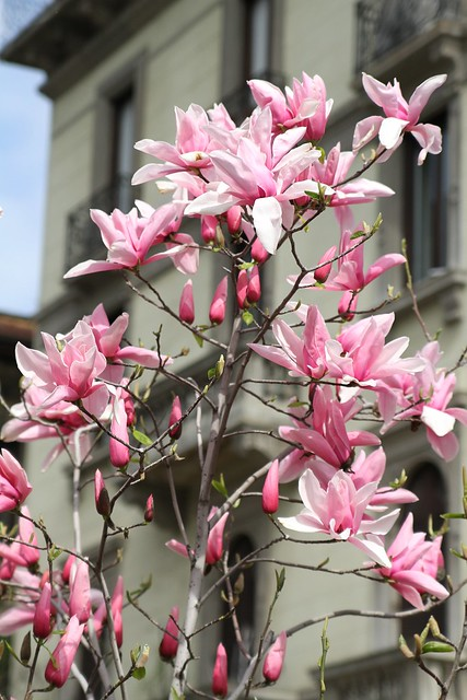 Pink spring blossoms in Milan to blow away those winter blues