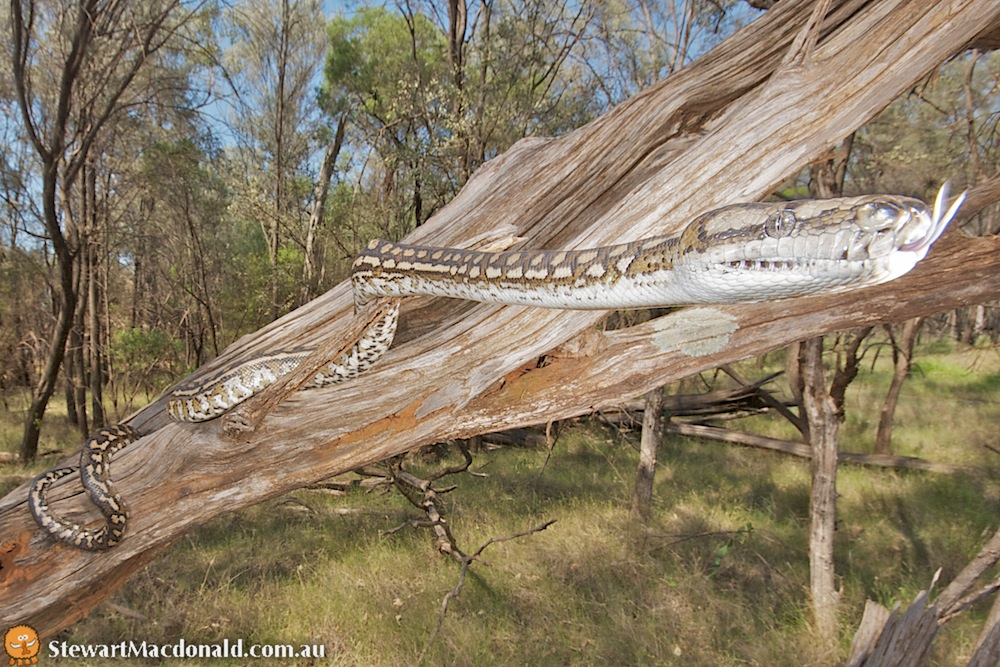 Carpet python (Morelia spilota ssp.)