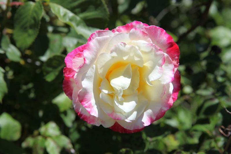 rose_092