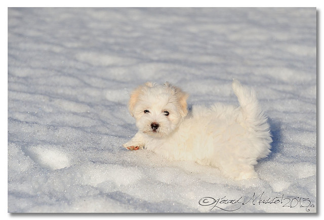 Coton de tulear pictures and informations dog for Miroir de galadriel
