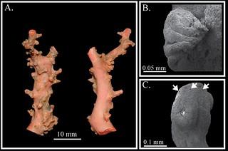 世界新種,台灣紅珊瑚 (Corallium taiwanicum),採集自小琉球周邊海域。(圖片來源:鄭明修提供)
