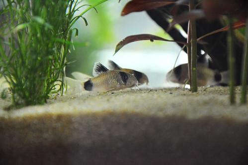 Corydoras Panda