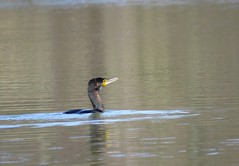 Grand Cormoran- Phalacrocorax carbo