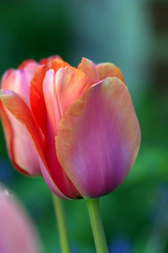 Tulipa - grands hybrides - tulipes chics et kitch (sections 1 à 11) - Page 5 8680431175_ec2d671d47