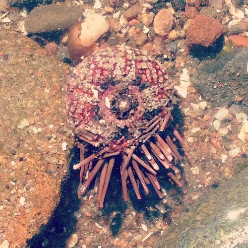 seaurchin