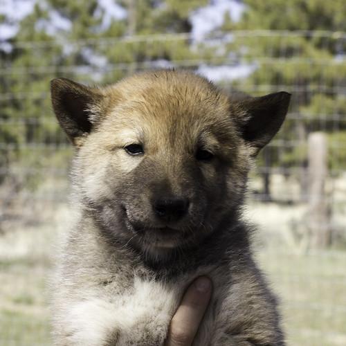 Ike-Kilbe-Pup3-Male(Day 40)-1