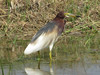 chinese-pond-heron1