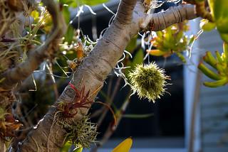 Tillandsia tricholepis Ball