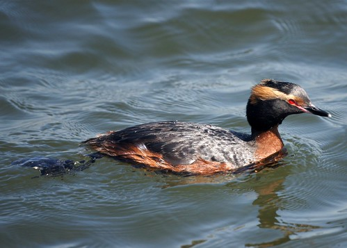 Horned Grebe by Mike's Birds