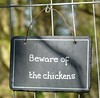 Beware of the chickens!