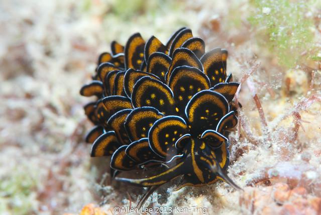 Black and gold Sapsucking Slug(Cyerce nigricans)