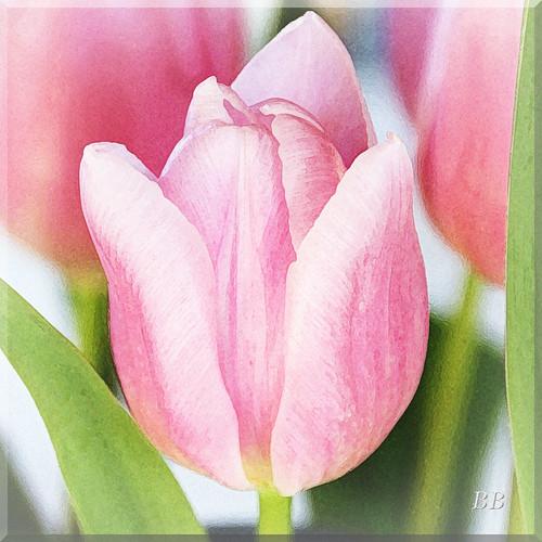 ~ The Last Tulip ~