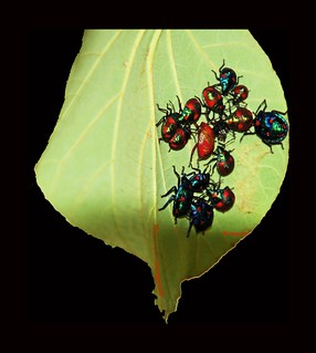 many beetles on a leaf