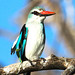 Woodland Kingfisher (Neil Macleod)