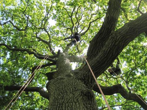 Whitsun Tree Climbing