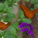 Two Gulf fritillaries in flight by jim_mcculloch