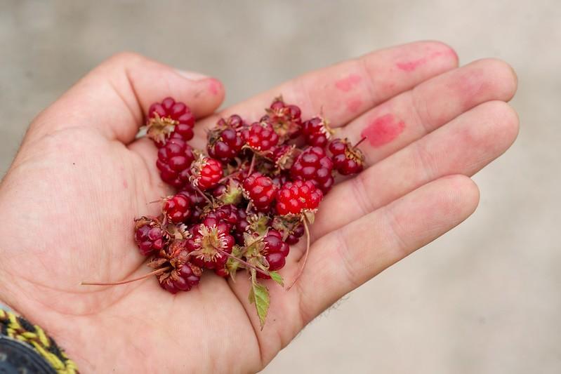 Arctic raspberry (Rubus arcticus)