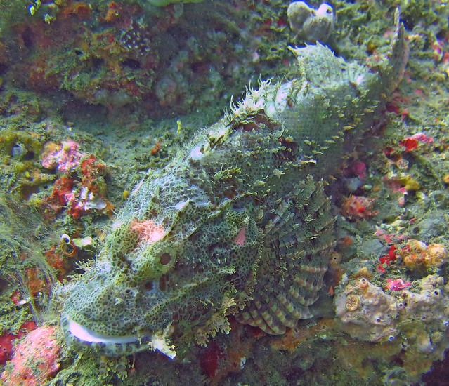 Tasseled Scorpionfish 4, Canon POWERSHOT G16