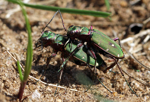Green tiger beetles (Cicindela campestris)