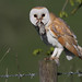 Barn Owl . by Sandra Standbridge.