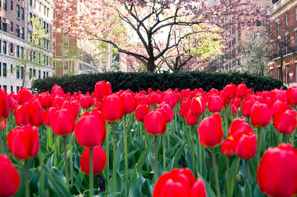 Red tulips on park avenue 20130427-DSC_2921.jpg