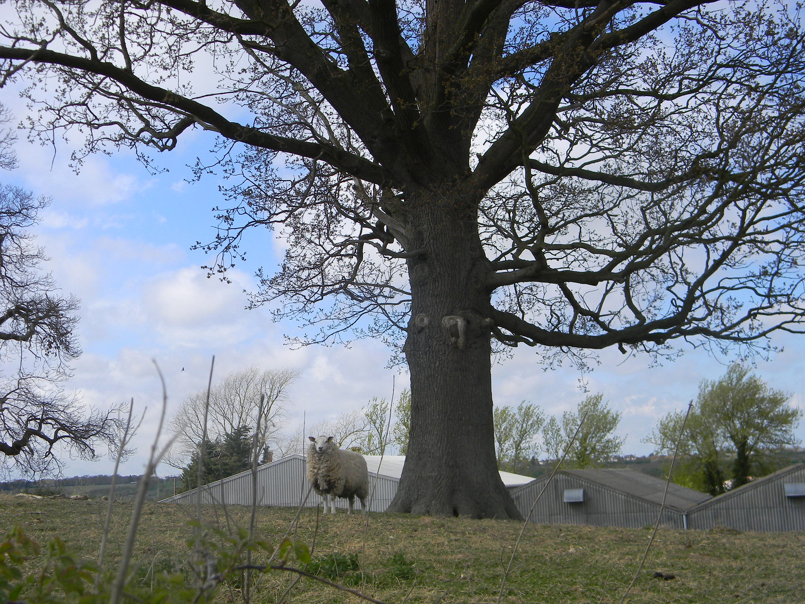 Sheep and tree Bekesbourne Circular