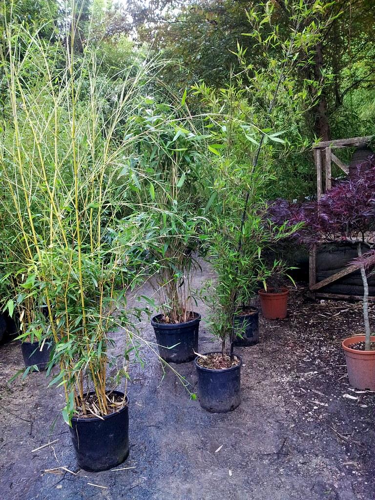 haie en jardini re mixer nigra et alphone karr forum des fous de bambous. Black Bedroom Furniture Sets. Home Design Ideas