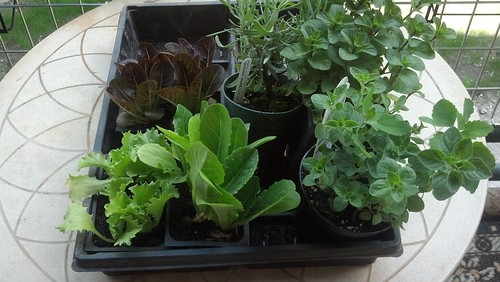 Lettuces and herbs