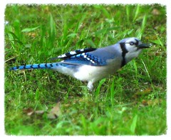Blue Jay discovers backyard