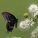 Spicebush Swallowtail on Buttonbush:  Pee Dee NWR by Will Stuart